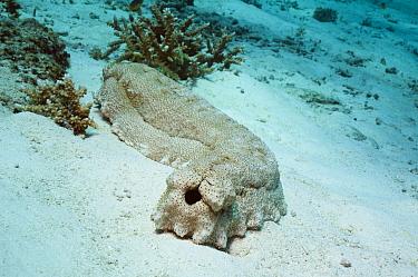 Anax sea cucumber (Thelenota anax) on seabed, Andaman Sea, Thailand  -  Georgette Douwma/ npl