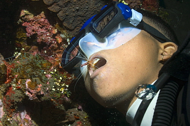 Scarlet Cleaner Shrimp (Lysmata amboinensis) on diver's mouth to clean teeth Bali, Indonesia  -  Georgette Douwma/ npl
