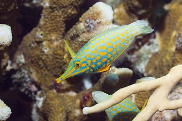 Beaked Leatherjacket (Oxymonacanthus longirostris) amongst coral, Andaman Sea, Thailand  -  Georgette Douwma/ npl