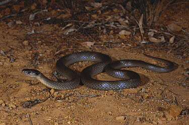 Grey snake (Hemiaspis damelii) foraging for frogs briefly at dusk along the edge of a claypan, Moree, New South Wales, Australia  -  Robert Valentic/ npl