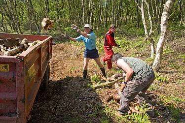 Conservation volunteers working in woodland management, Heysham Moss Reserve, Lancashire, UK  -  Jason Smalley/ npl