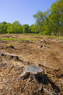 Heysham Moss nature reserve after woodland clearance, Lancashire, UK  -  Jason Smalley/ npl