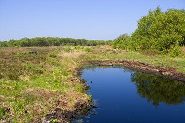 Acid pool on raised bog after conservation work has been completed, Heysham Moss Reserve, Lancashire, UK  -  Jason Smalley/ npl