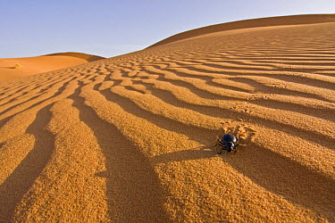 Beetle (Tenebrio sp) walking on sand dune in the Sahara desert, Erg Chebbi, Southern Morocco, NW Africa  -  Bruno D'amicis/ npl