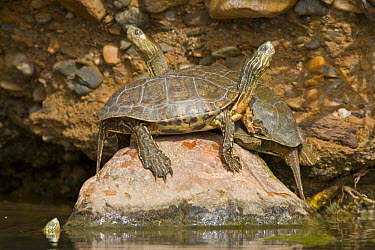 Mediterranean Turtle (Mauremys leprosa) basking on rock, Southern Morocco  -  Bruno D'amicis/ npl