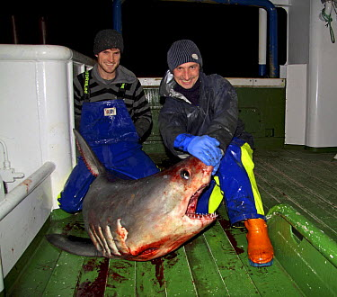 Fishermen displaying a Porbeagle shark (Lamna nasus) on the deck of a fishing trawler in the North Sea December 2008  -  Philip Stephen/ npl