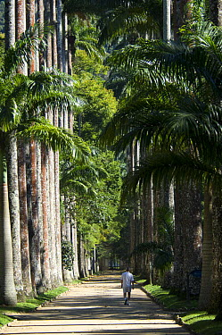 Avenue of Royal Palm Trees (Roystonea regia) in the Botanical Garden of Rio de Janeiro, Rio de Janeiro city, Rio de Janeiro State, Brazil  -  Luiz Claudio Marigo/ npl