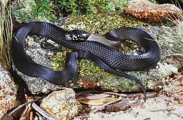 Broad headed snake (Hoplocephalus sp) undescribed species from high altitude rocky habitat, Torrington, New South Wales, Australia  -  Robert Valentic/ npl