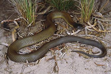 Chappell Island tiger snake (Notechis ater serventyi) sub-adult male basking on dunes, Mount Chappell Island, Bass Strait, Tasmania, Australia  -  Robert Valentic/ npl