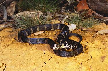 Stephen's banded snake (Hoplocephalus stephensii) Myall Lakes NP, New South Wales, Australia  -  Robert Valentic/ npl