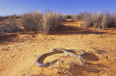 King brown snake (Pseudechis australis) male fans out in threat display after sensing danger while basking on desert dune, Leigh Creek, Southern Australia  -  Robert Valentic/ npl