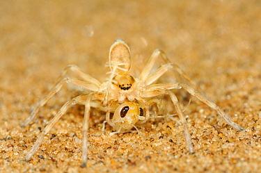 Wheel Spider (Carparachne aureoflava) feeding on insect prey, Namib desert, Namibia  -  Solvin Zankl/ npl