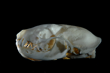 Striped Polecat (Ictonyx striatus) skull  -  Laurent Geslin/ npl