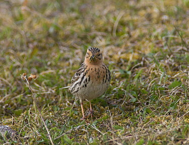 Red throated pipit (Anthus cervinus) male collecting food to feed incubating female, Varanger, Norway  -  Roger Powell/ npl