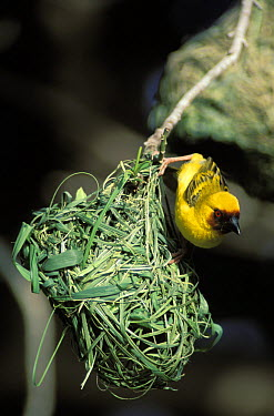 Ruppell's weaver (Ploceus galbula) male at nest, Salalah, Oman  -  Hanne & Jens Eriksen/ npl