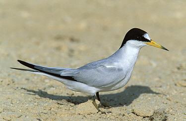 Black shafted, Saunders' tern (Sterna saundersi) adult on ground, Khawr Dirif, Oman  -  Hanne & Jens Eriksen/ npl