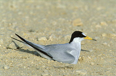 Black shafted, Saunders' tern (Sterna saundersi) on nest, Khawr Dirif, Oman  -  Hanne & Jens Eriksen/ npl