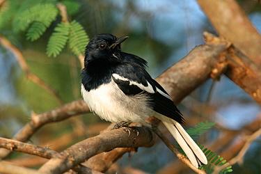 Oriental magpie robin (Copsychus saularis) male, perched, Tamil Nadu, India  -  Hanne & Jens Eriksen/ npl