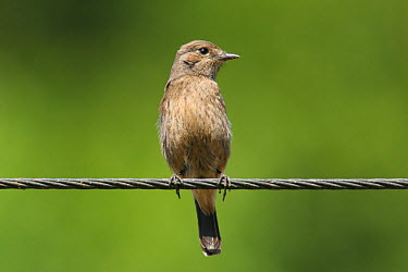 Pied bush chat, bushchat (Saxicola caprata) female, perched on wire, Tamil Nadu, India  -  Hanne & Jens Eriksen/ npl