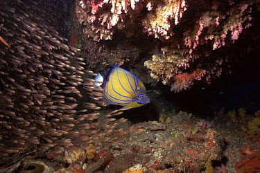 Blue-ringed Angelfish (Pomacanthus annularis) with a shoal of Luminous cardinalfish, Glassfish (Rhabdamia gracilis) shelter within a small cave from the strong currents that sweep Ko Tachai island in...  -  Francis Abbott/ npl