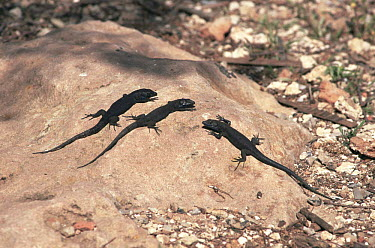 Lilford's wall Lizards (Podarcis lilfordi) melanistic black form only found on the Isla del Aire, Menorca, Spain  -  Francis Abbott/ npl
