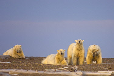 Polar Bear (Ursus maritimus) group of adult males wait on a barrier island for ocean freeze up, off the Arctic National Wildlife Refuge, Alaska  -  Steven Kazlowski/ npl