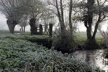 Frosty scene with Willow trees, Tadham Moor, Somerset Levels, UK  -  John Waters/ npl