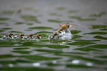 Common Merganser (Mergus merganser) female carrying some of its chicks on its back, Nymphenburger Schlosspark, Munich, Bavaria, Germany  -  Kerstin Hinze/ npl