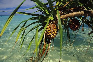 Fruit of screw pine (pandanus sp) hanging over the water, Lankyan Island, Sabah, Borneo  -  Roberto Rinaldi/ npl