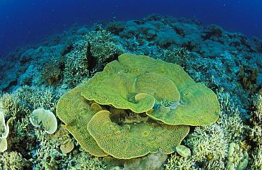 Reef with hard corals In the foreground a Montipora sp, Lankanyan islands, Sabah, Boreno, Malaysia  -  Roberto Rinaldi/ npl