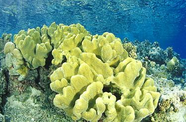 Tropical reef, Walea, Toigan Islands, Sulawesi, Indonesia  -  Roberto Rinaldi/ npl