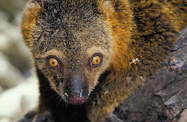 Bear Cuscus (Ailurops ursinus), to Indonesia Sulawesi  -  Roberto Rinaldi/ npl