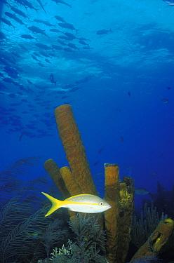 Yellowtail snapper (Ocyurus chrysurus) in front of Yellow tube sponges (Aplysina fistularis), Belize  -  Roberto Rinaldi/ npl