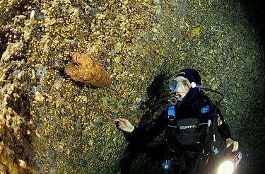 Diver looking at Mediterranean, Spanish slipper lobster (Scyllarides latus) in Nereo Cave (Grotta di Nereo), Sardinia, Italy  -  Roberto Rinaldi/ npl