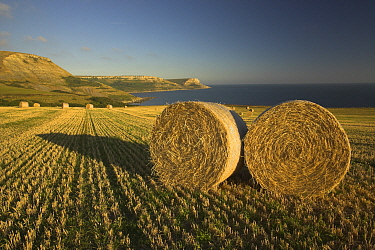 Round hay bales near Egmont Point with St Albans Head in the Distance, Dorset Jurassic Coast World Heritage Site September 2006  -  Peter Lewis/ npl