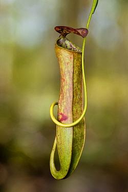 Aerial pitcher of Pitcher Plant (Nepenthes gracilis) Growing in kerangas heath forest, Bako NP, Sarawak, Borneo, Malaysia  -  Nick Garbutt/ npl