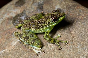Green-spotted rock frog (Staurois tuberilinguis) on stream side rock Danum Valley, Sabah, Borneo, Malaysia  -  Nick Garbutt/ npl