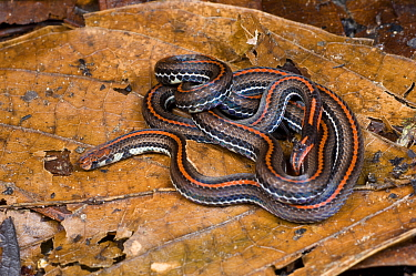Banded Coral Snake (Calliophis intestinal) in leaf litter Danum Valley, Sabah, Borneo, Malaysia  -  Nick Garbutt/ npl