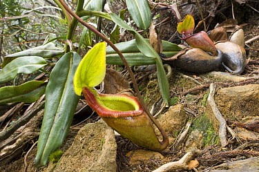 Kinabalu Pitcher Plant (Nepenthes kinabaluensis) growing in montane forest (at 3000m), Mt Kinabalu, Sabah, Borneo, Malaysia  -  Nick Garbutt/ npl