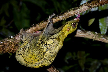 Malayan Flying Lemur (Cynocephalus variegatus) feeding on algae on tree bark Danum Valley, Sabah, Borneo, Malaysia  -  Nick Garbutt/ npl