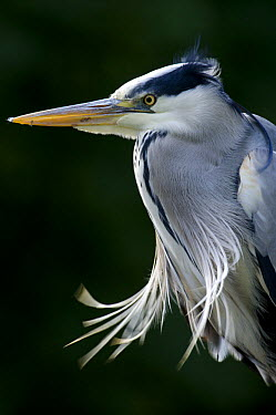 Grey Heron (Ardea cinerea) portrait, Isle of Mull, Scotland United Kingdom  -  Nick Garbutt/ npl