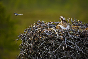 Osprey (Pandion haliaetus) adult on nest watching Pied wagtail flying away from nest, Finland  -  Juan Carlos Munoz/ npl