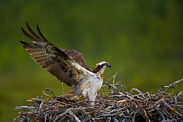 Osprey (Pandion haliaetus) adult landing on nest, Finland  -  Juan Carlos Munoz/ npl