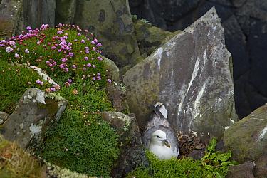 Northern Fulmar (Fulmarus glacialis) on nest amongst Sea thrift, Sheltand Islands, Scotland United Kingdom  -  Juan Carlos Munoz/ npl
