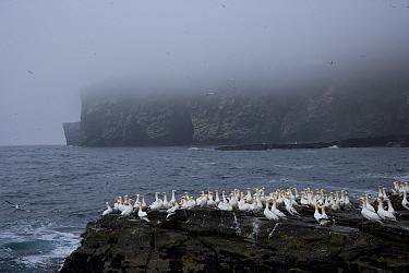 Northern gannets (Morus bassana) on promontary, Noss Island, Bressay, Shetland Islands, Scotland, UK  -  Juan Carlos Munoz/ npl