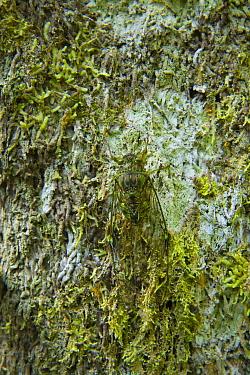 Cicada (Cicada sp) camouflaged on the trunk of a rainforest tree, Mount Kinabalu National Park, Sabah, Borneo, Malaysia  -  Juan Carlos Munoz/ npl