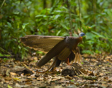 Great Argus Pheasant (Argusianus argus) male standing on log to display, Danum Valley forest reserve, Sabah, Borneo, Malaysia  -  Juan Carlos Munoz/ npl