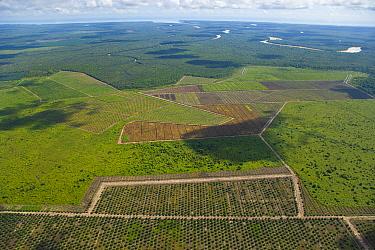 Aerial view of palm oil plantations in deforested area, Rio Sungai Kinabatangan, Sabah, Borneo, Malaysia  -  Juan Carlos Munoz/ npl