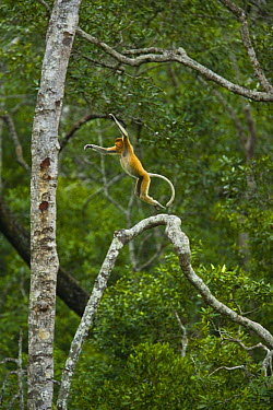 Proboscis Monkey (Nasalis larvatus) male leaping through lowland rainforest trees, Rio Sungai Kinabatangan, Sabah, Borneo, Malaysia  -  Juan Carlos Munoz/ npl
