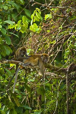 Long-tailed Macaque (Macaca fascicularis) grooming in rainforest tree, Rio Sungai Kinabatangan, Sabah, Borneo, Malaysia  -  Juan Carlos Munoz/ npl